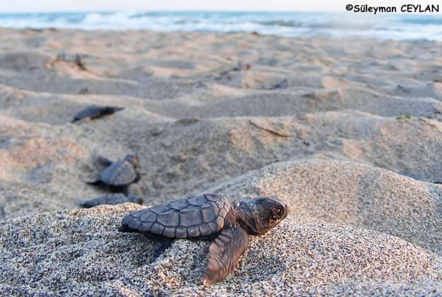 Die Unechte Karettschildkröte von Patara