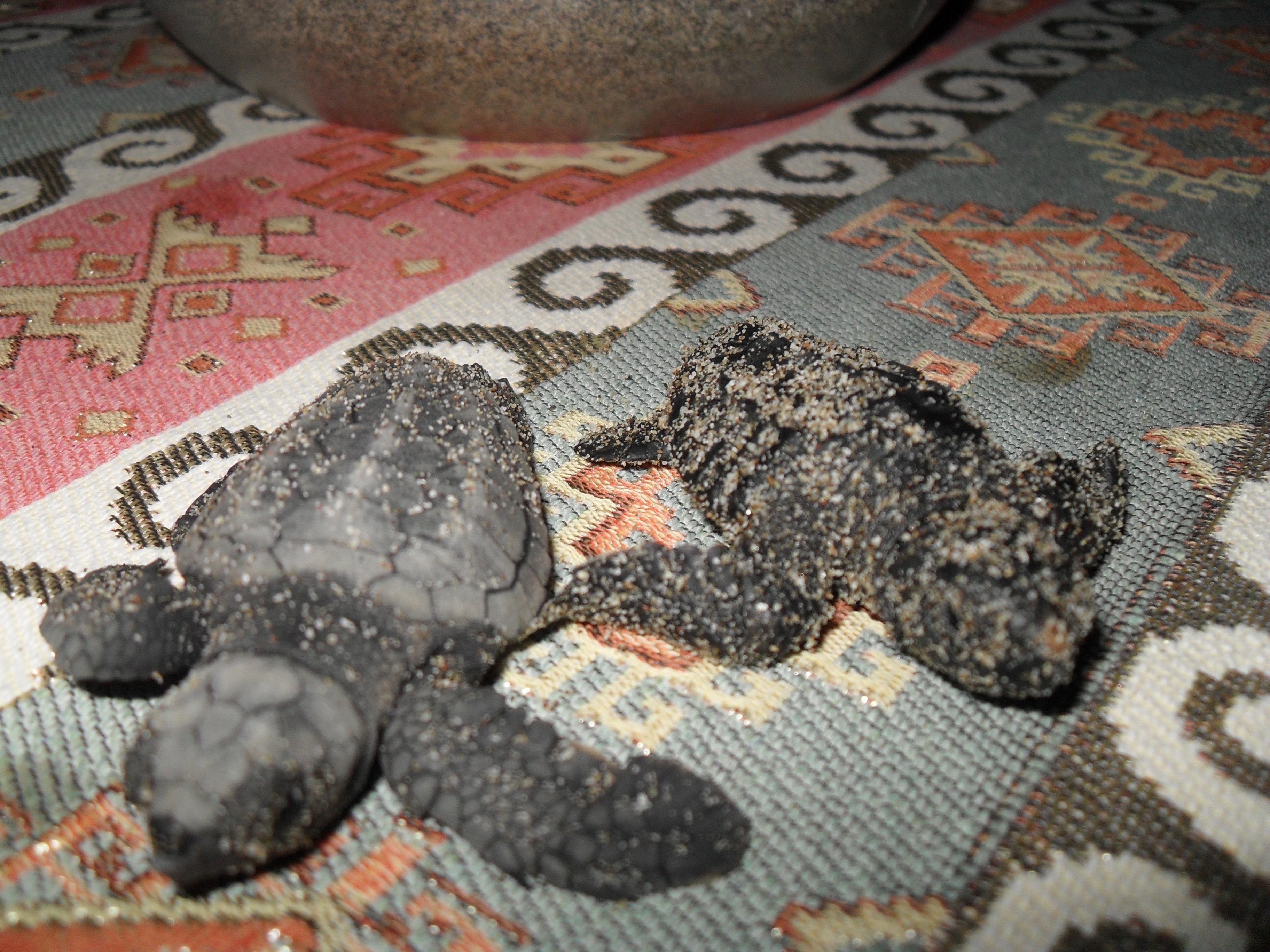 Babys der Unechten Karettschildkröte Caretta Caretta aus Patara Türkei auf Villa Amanda der Schildkröten Blog