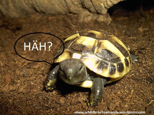 Griechische Babyschildkröte Landschildkröte Testudo Hermanni Boettgeri Hermann's Tortoise Villa Amanda der Schildkröten Blog