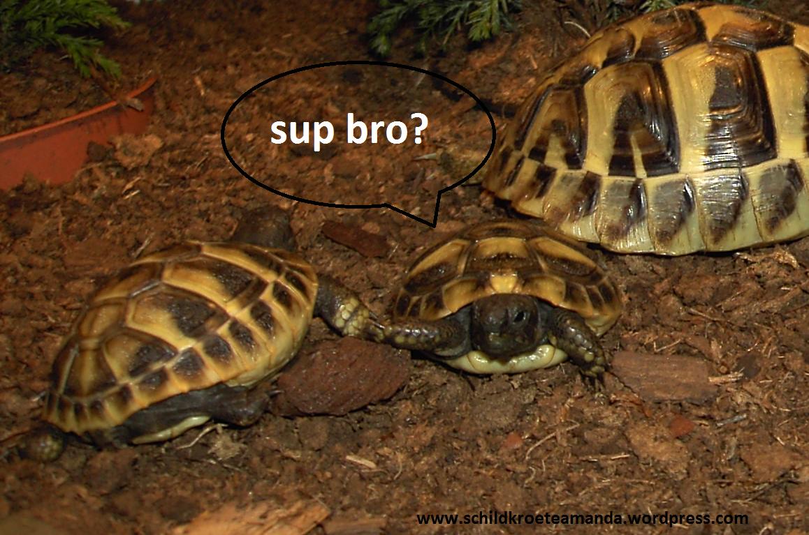 Schildkröten Handschlag, high five, turtle, Testudo Hermanni Boettgeri, Villa Amanda - der Schildkrötenblog