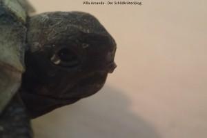Eizahn Griechische Landschildkröte Testudo hermanni boettgeri. Villa Amanda - Der Schildkrötenblog