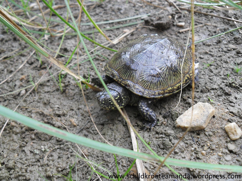 Europäische Sumpfschildkröte Emys orbicularis Melbweiher Bonn. Villa Amanda der Schildkrötenblog