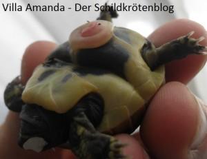Griechische Landschildkröte Testudo hermanni boettgeri Bauchfalte und Dottersack. Villa Amanda - Der Schildkrötenblog