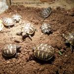 Griechische Landschildkröte Testudo hermanni boettgeri Nachzuchten 2013. Villa Amanda - Der Schildkrötenblog