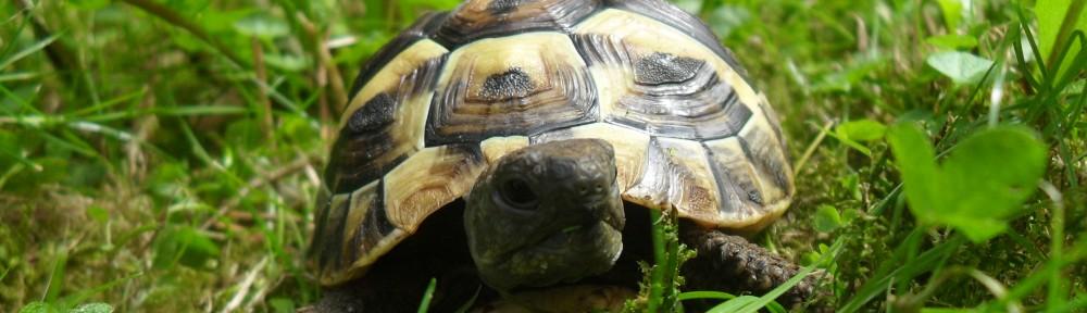 Wie man das Geschlecht seiner griechischen Landschildkröte erkennt