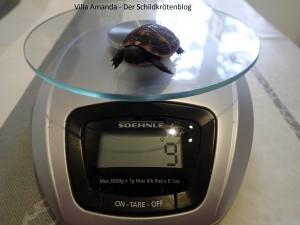 Babyschildkröte nimmt endlich zu