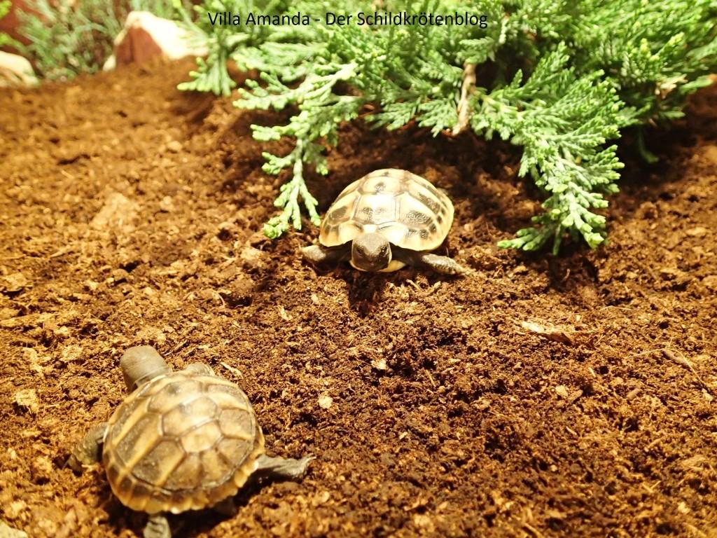 Griechische Landschildkröte Testudo hermanni boettgeri beendet Winterschlaf