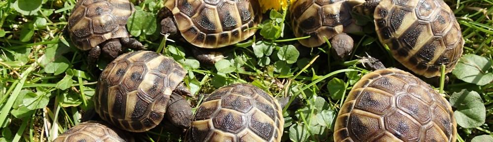 Schildkröten Nachzuchten zu verkaufen