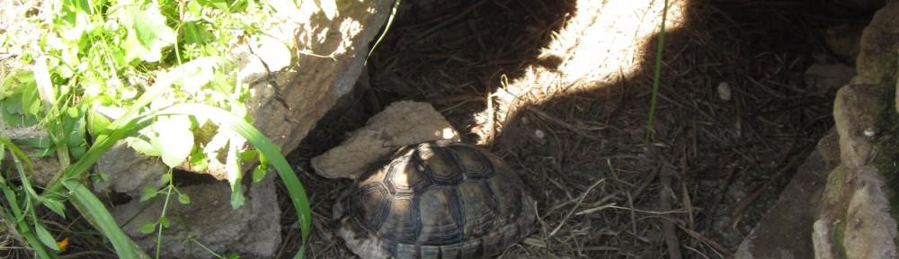 Schildkröte in freier Wildbahn in Athen