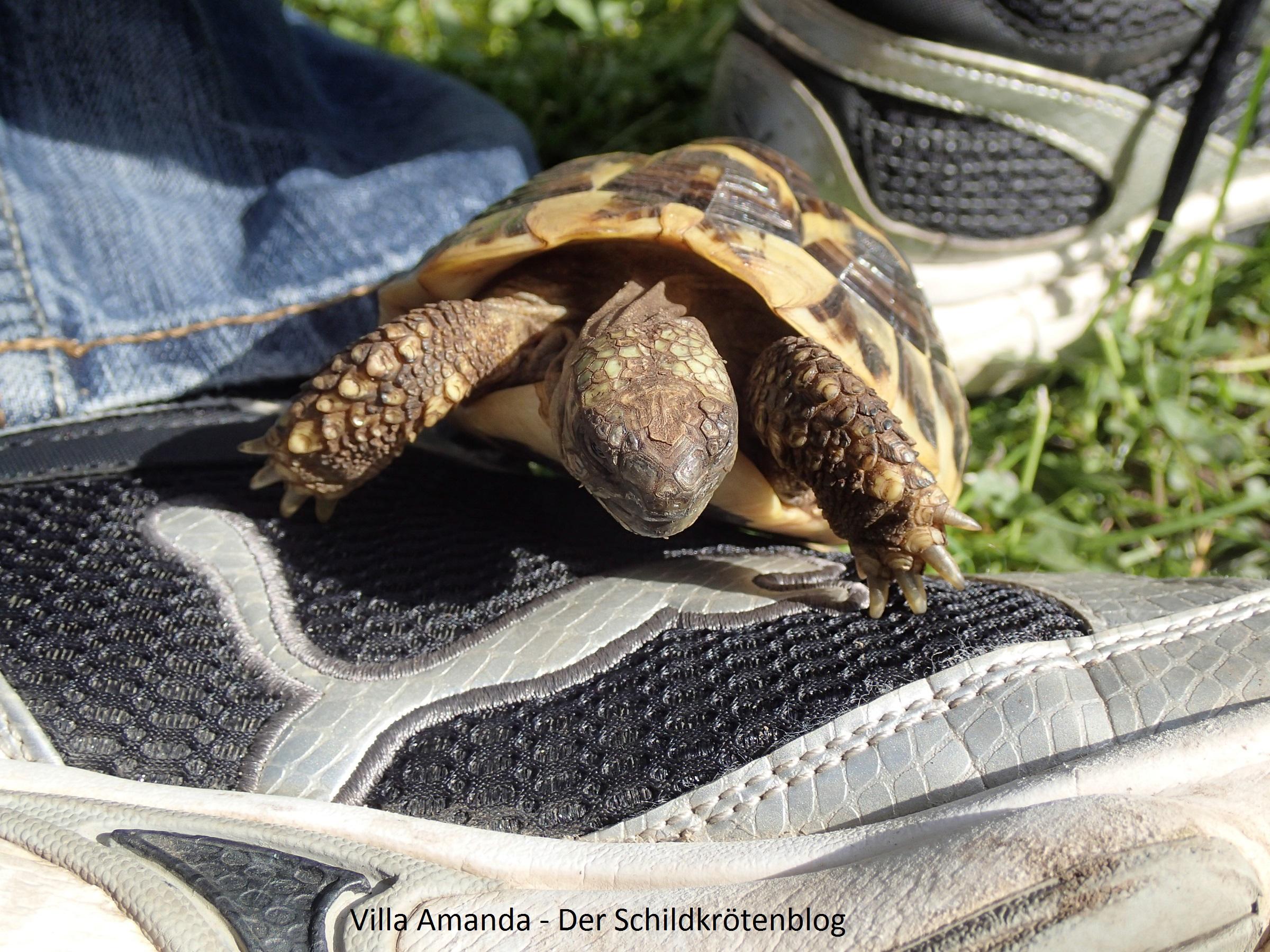 griechische Landschildkröte klettert