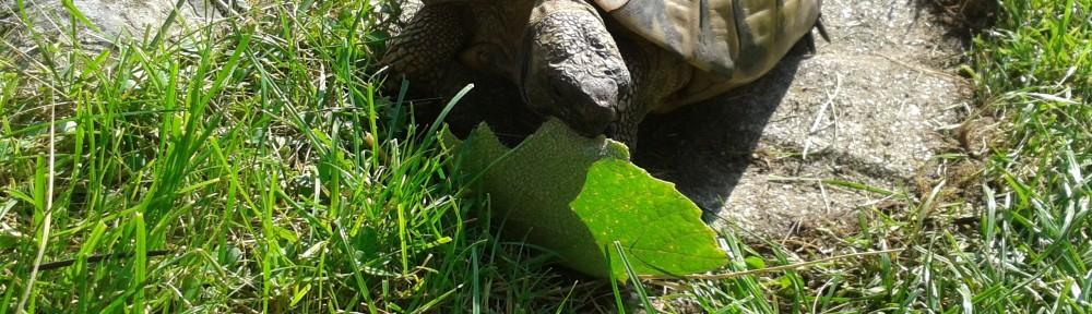 So frisst eine Griechische Landschildkröte