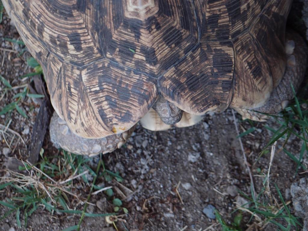 Pantherschildkröte Stigmochely pardalis
