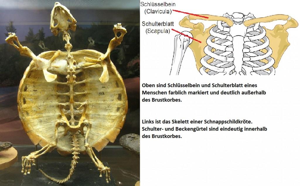 Schultergürtel Beckengürtel Vergleich Schildkröte Mensch