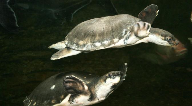 Schildkröten Fakt zum Wochenende #11