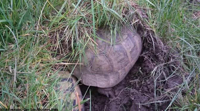 Adulte Schildkröten zurück aus Winterstarre