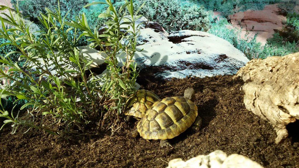 Griechische Landschildkröten sonnen sich