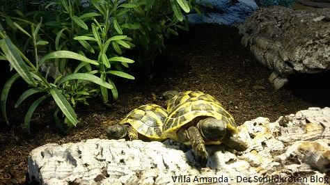 Griechische Landschildkröten Wärmelampe