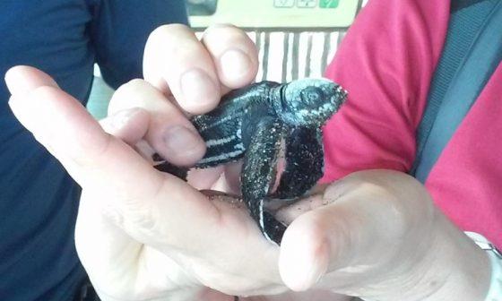 Lederschildkröten in Nicaragua