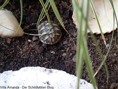 Schildkröten Nachzucht 2017 im Gehege