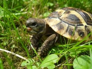 griechische Landschildkröte Logo Villa Amanda der Schildkrötenblog
