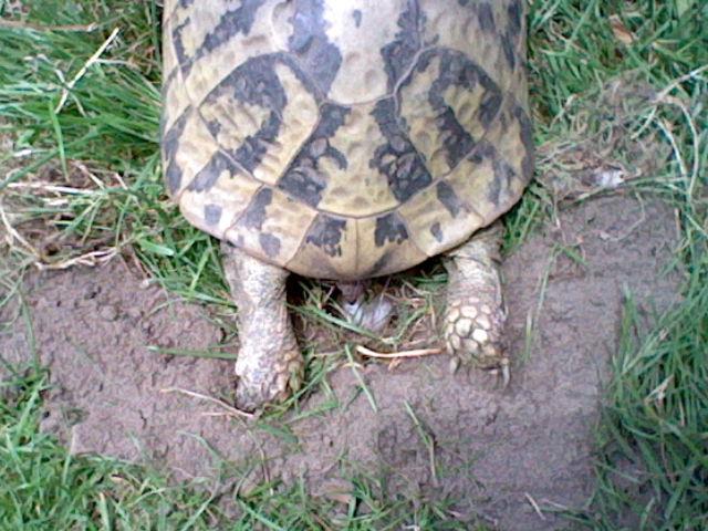 Griechische Landschildkröte Testudo Hermanni Boettgeri bei der Eiablage. Von Villa Amanda