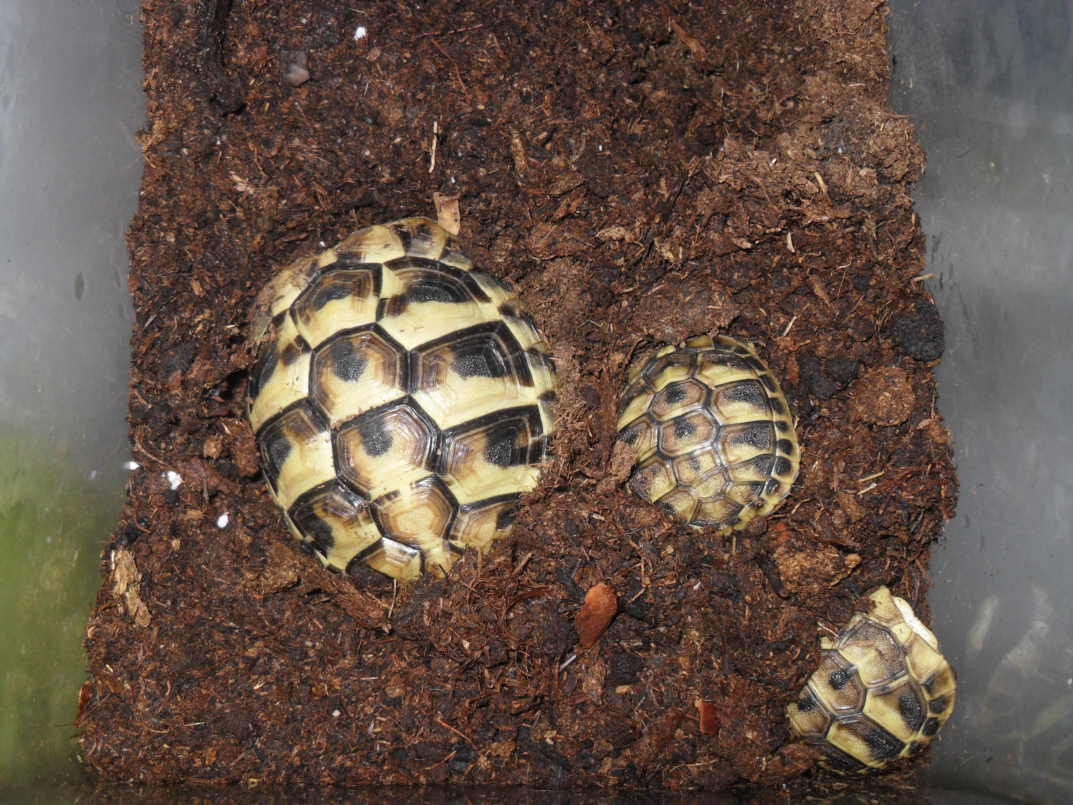 Kleiner Kühlschrank Für Schildkröten : Vorbereitung und durchführung der winterstarre villa amanda u2013 der