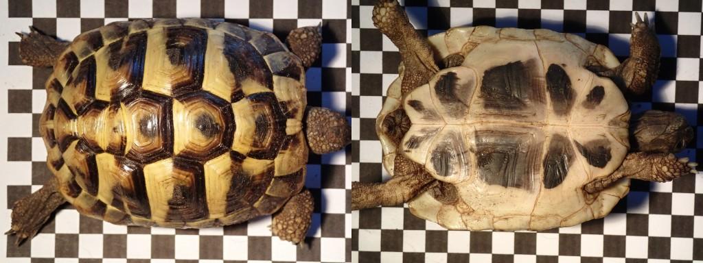 Griechische Landschildkröte Testudo hermanni boettgeri Nachzucht 2010