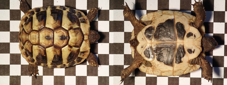 Griechische Landschildkröte Testudo hermanni boettgeri Nachzucht 2012