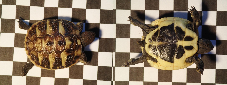 Griechische Landschildkröte Testudo hermanni boettgeri Nachzucht 2013