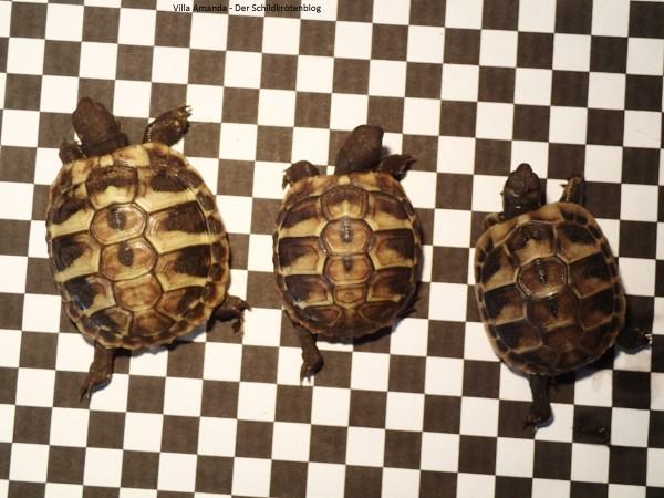 Griechische Landschildkröten Größenunterschied