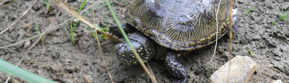 Europäische Sumpfschildkröte vom DGHT zum Reptil des Jahres 2015 ernannt