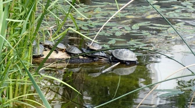 Villa Amandas Schildkröte des Jahres 2015: Europäische Sumpfschildkröte