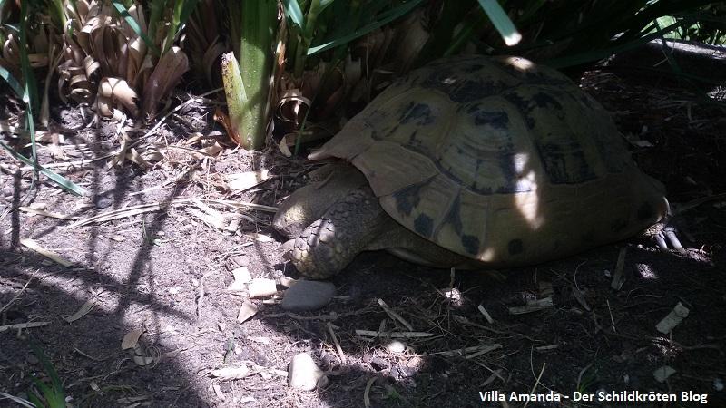 Griechische Landschildkröte relaxt