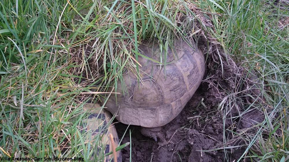 Griechische Landschildkröte erwacht aus Winterstarre