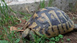 Griechische Landschildkröte Korfu Friedhof