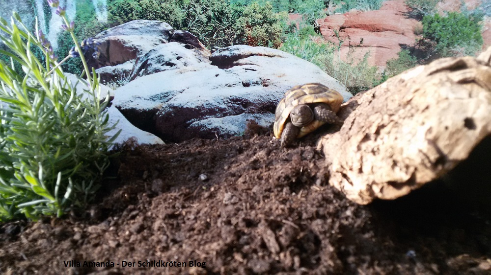 Griechische Landschildkröte sonnt sich