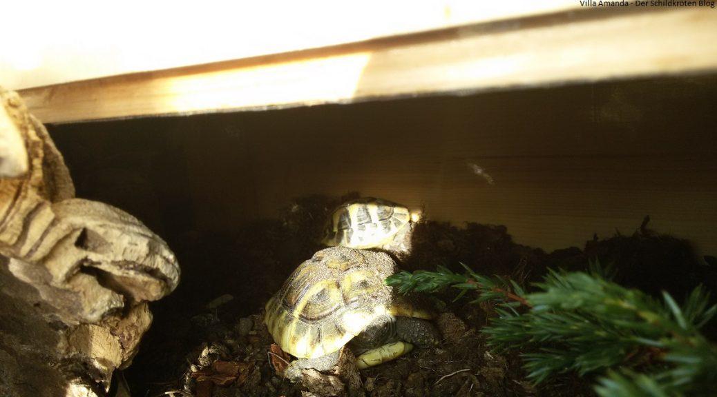 Griechische Landschildkröte nach Winterstarre