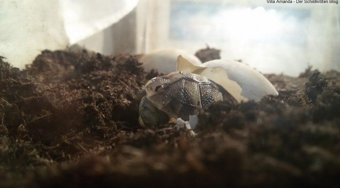 Immer mehr Schildkröten schlüpfen