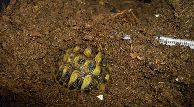 Wie sich Schildkröten während der Winterstarre verhalten