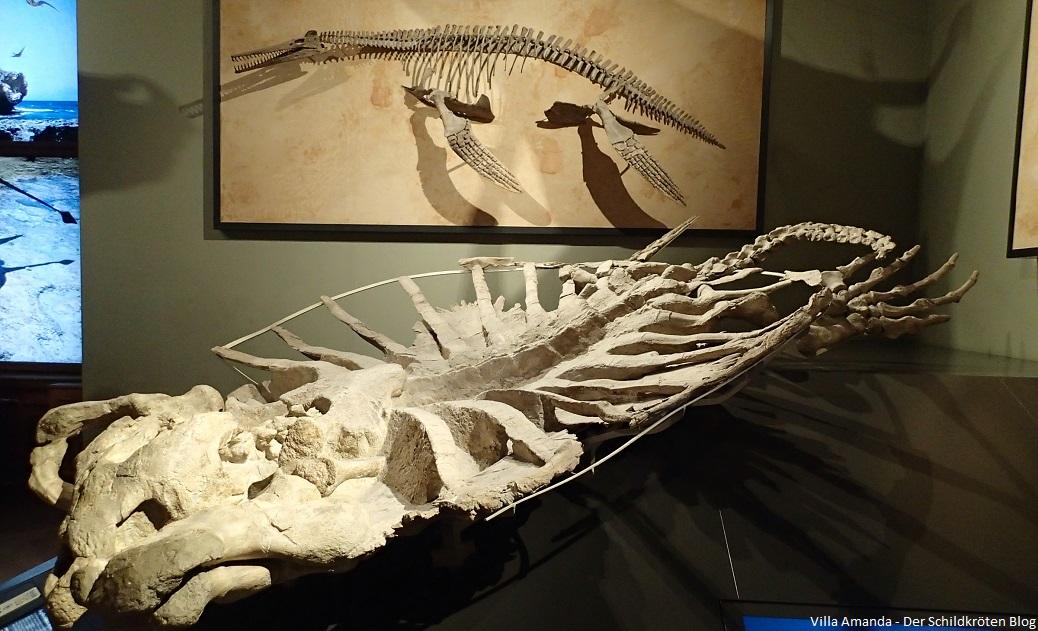 Größte Schildkröte der Welt Archelon ischyros