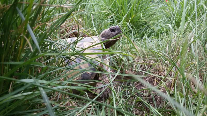 Adulte Griechische Landschildkröte
