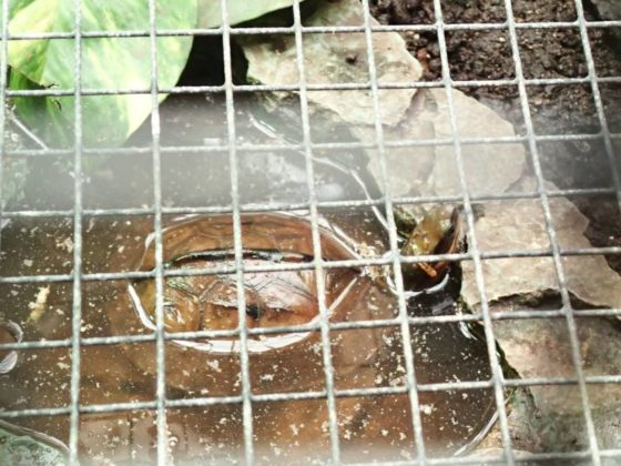 Dreistreifen Scharnierschildkröte