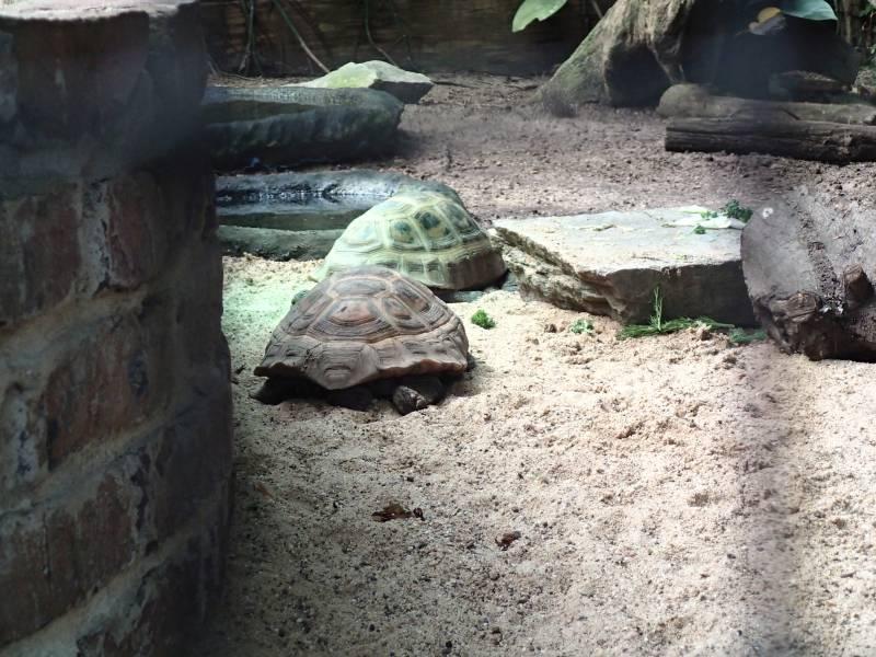 Gelbkopfschildkröte Indotestudo elongata