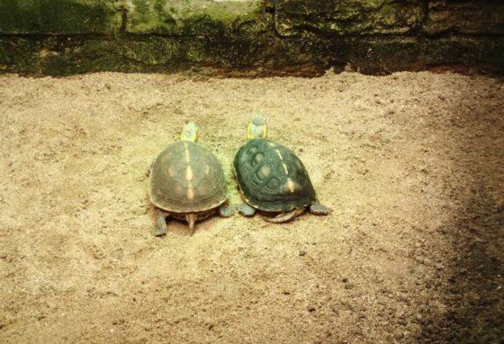 Gelbrand-Scharnierschildkröte Cuora Flavomarginata