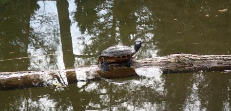 Schmuckschildkröte