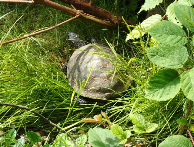 Europäische Sumpfschildkröte Opel Zoo