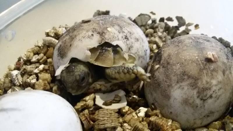 Griechische Landschildkröte schlüpft