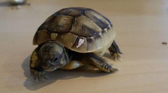 Die ersten Griechischen Landschildkröten 2018 sind geschlüpft.